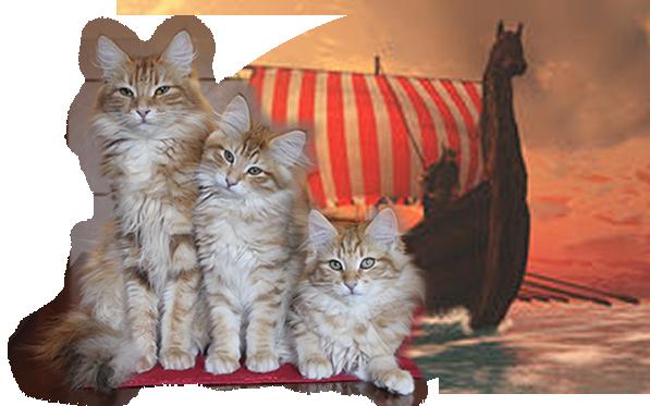 Allevamento Gatti Norvegesi Delle Foreste Cuccioli Disponibili